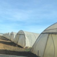 Plantations Courgettes 2020